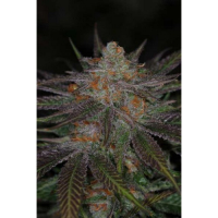 Ripped Bubba Regular Cannabis Seeds | TGA Seeds