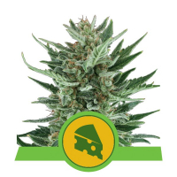 Royal Cheese Auto Feminised Cannabis Seeds | Royal Queen Seeds