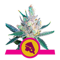 Royal Cheese Fast V Feminised Cannabis Seeds | Royal Queen Seeds