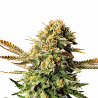 Russian Doll Feminised Cannabis Seeds | Kannabia