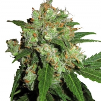 Sensi Skunk Feminised Cannabis Seeds | Sensi Seeds
