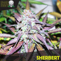 Sherbert Feminised Cannabis Seeds | Black Skull Seeds