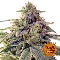Shiskaberry Feminised Cannabis Seeds | Barney's Farm