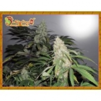 Dr Krippling Kripple Roulette Feminised Cannabis Seeds For Sale