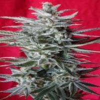 Snow Moon Feminised Cannabis Seeds | Ace Seeds