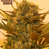 Sour P Feminised Cannabis Seeds | Resin Seeds