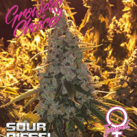 Sour Diesel Feminised Cannabis Seeds - Growers Choice