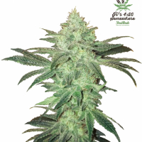 Stardawg Feminised Cannabis Seeds | Fast Buds