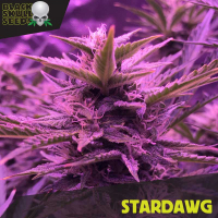 Stardawg Feminised Cannabis Seeds | Black Skull Seeds