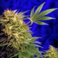 Super Star Regular Cannabis Seeds | Delta 9 Labs