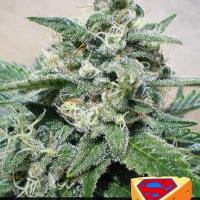 Super Cheese Feminised Cannabis Seeds | Positronics