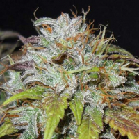 Swiss Cheese Regular Cannabis Seeds   Nirvana