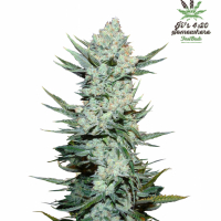 Tangie'matic Auto Feminised Cannabis Seeds   Fast Buds