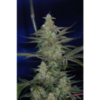 The Third Dimension Regular Cannabis Seeds|  | TGA Seeds