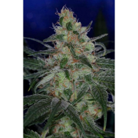 The Void Regular Cannabis Seeds | TGA Seeds