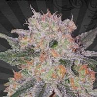 Trans Siberian Auto flowering Feminised Cannabis Seeds | Auto Seeds
