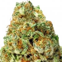 Turbo Bud Auto Feminised Cannabis Seeds   Heavyweight Seeds