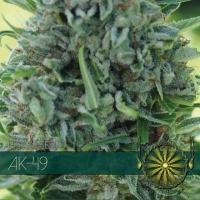 AK 49 Feminised Cannabis Seeds | Vision Seeds