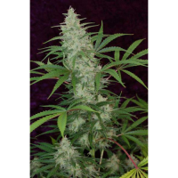 The Vortex Regular Cannabis Seeds | TGA Seeds
