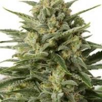 White Widow XXL Auto Feminised Cannabis Seeds | Dinafem Seeds