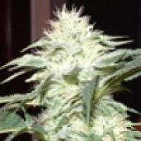 White Widow Regular Cannabis Seeds | Delta 9 Labs